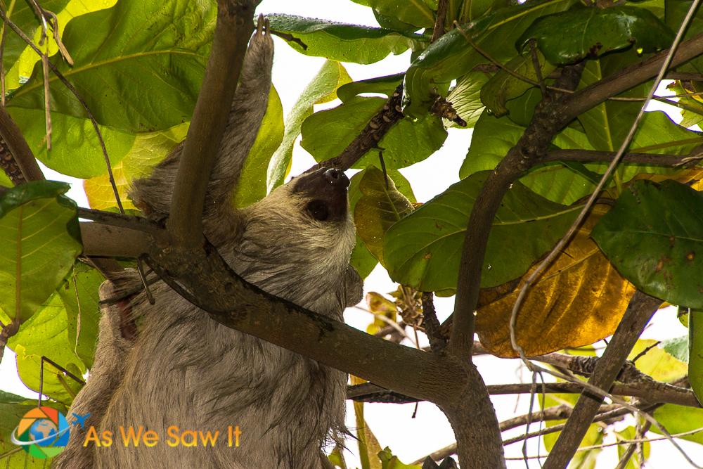 Three=Toed Sloth at Punta Culebra, Panama City.