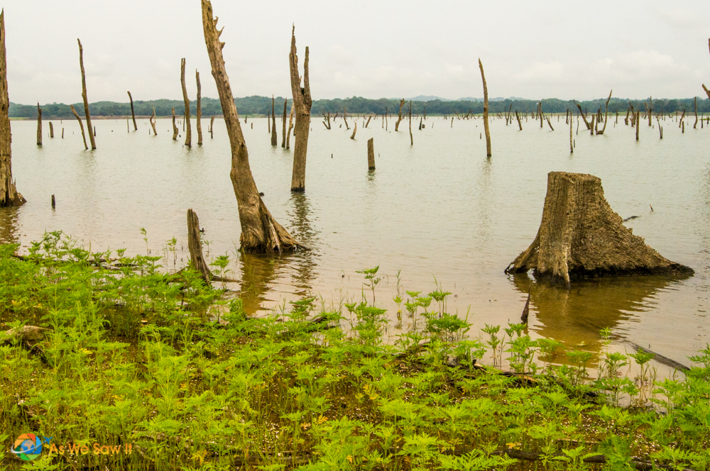 The flooding of Gatun Lake created a graveyard of trees
