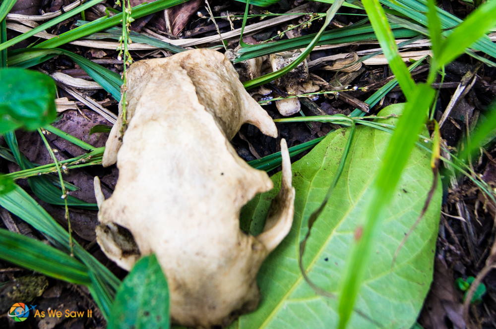Animal skull found on the ground in Panama rainforest.