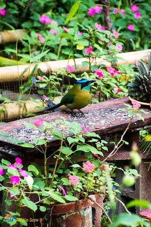 Birding in Panama - Mott Mott