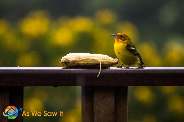 Pretty bird in Boquete