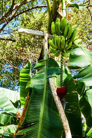 Bananas grow wild on Contadora.