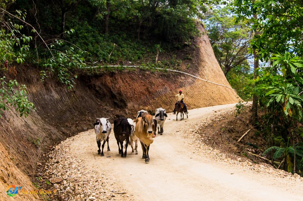 Cattle drive Panamanian style near Santa Fe, Panama.