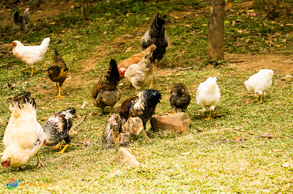 Free range chickens feeding on the seed just scattered by our host.