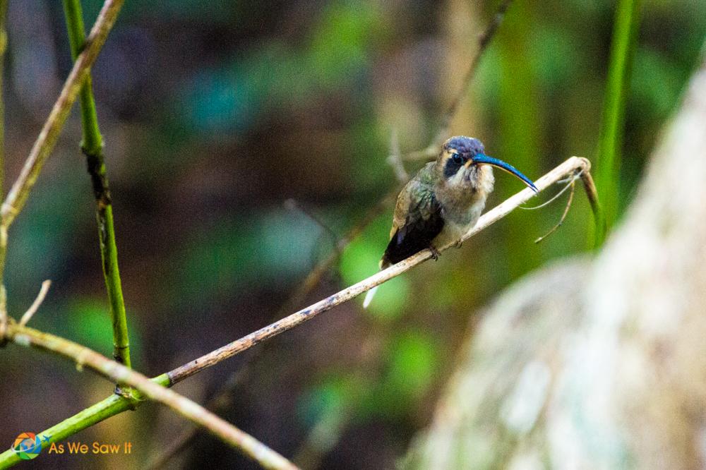 Hummingbird resting and singing away.