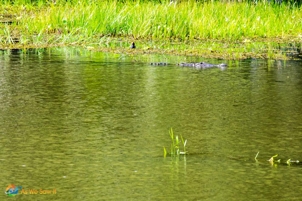 Large crocodile.