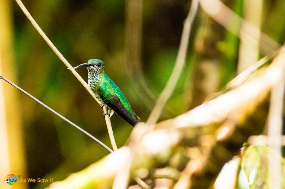 Green colored hummingbird.