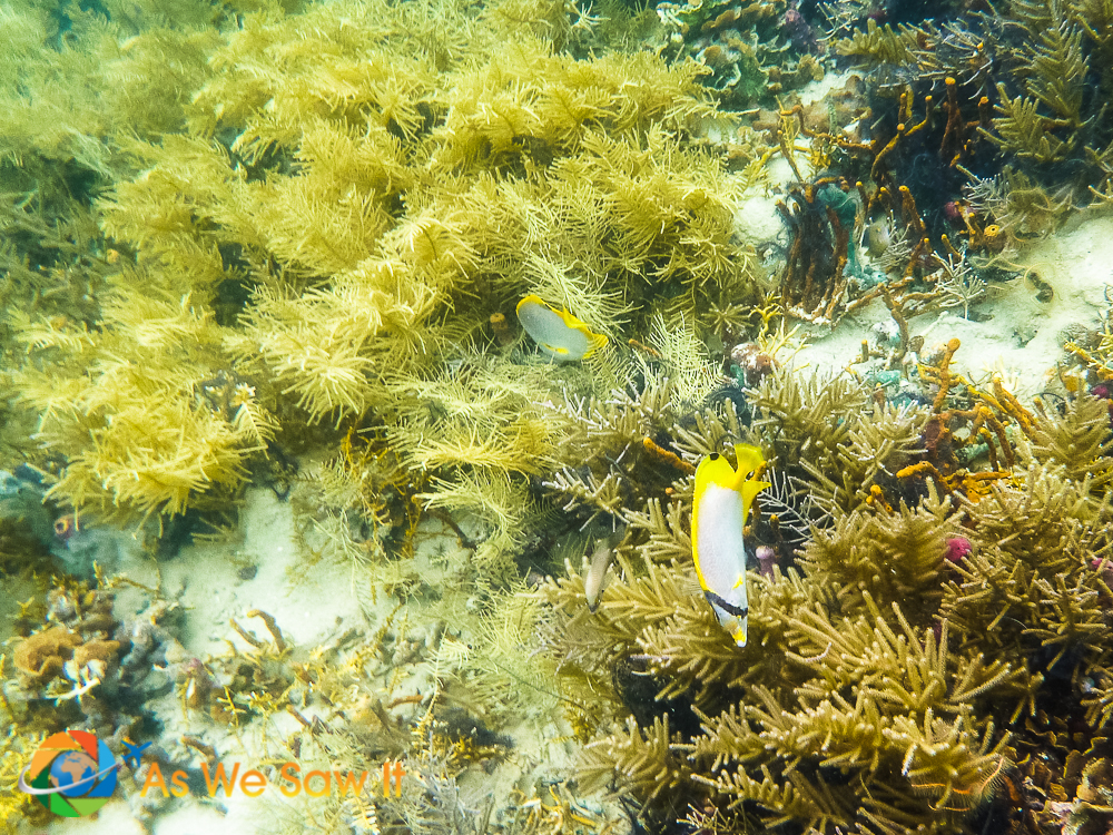 A pair of Butterfly fish working the reef for morsels.