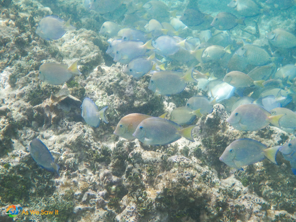 Underwater shot of a school of blue and yellow fish