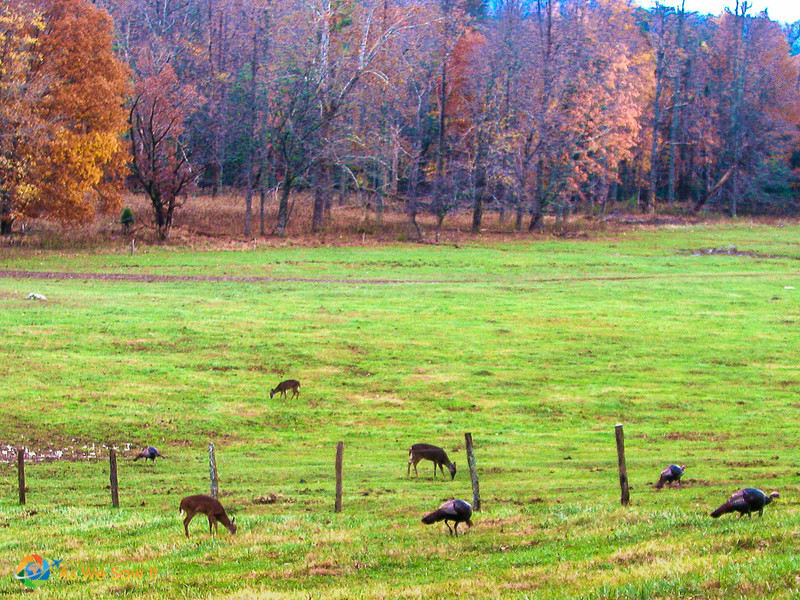 Deer and Turkeys in Cades Cove at sundown.