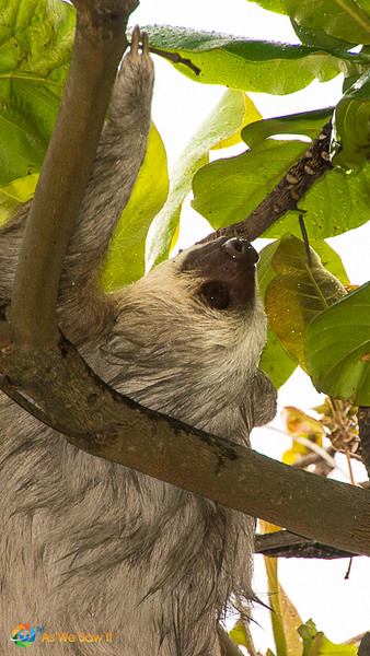 sloth in Panama City Panama