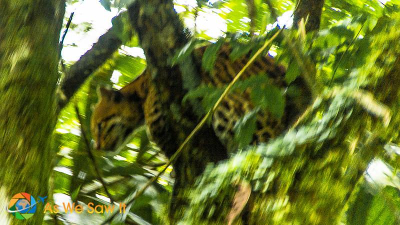 Ocelot, one of the native animals in Ecuador